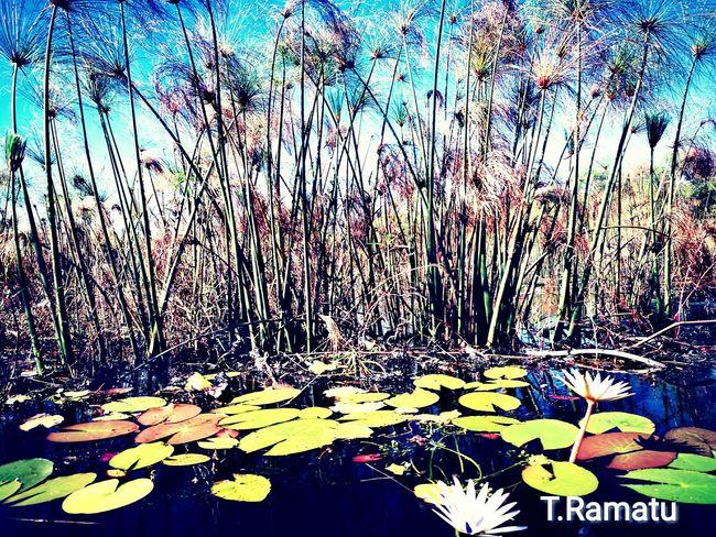 Outdoors Water Nature Beauty In Nature Summer ☀ Okavango Delta Okavango River BOTSWANA Chobe Waterlilies No People Freshness