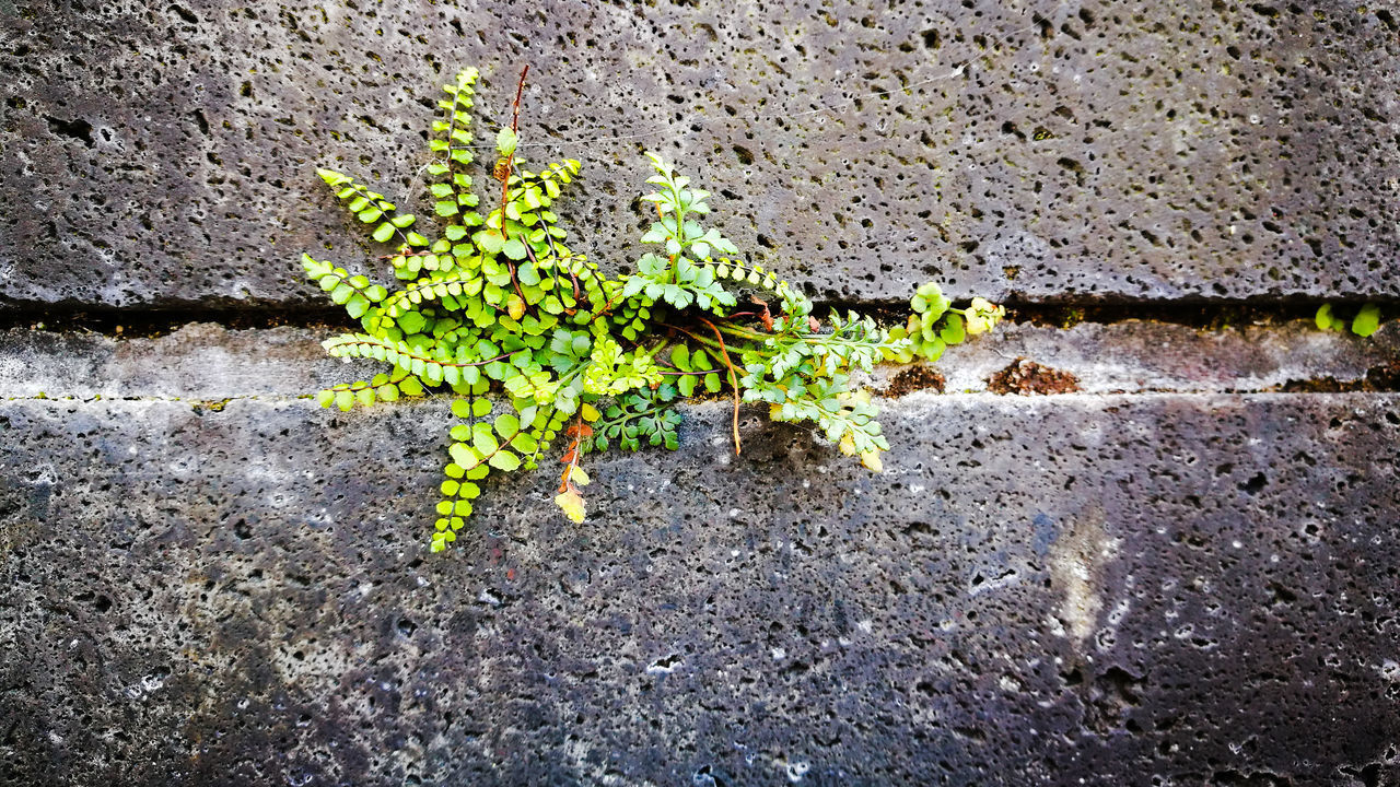 wall - building feature, growth, day, no people, built structure, nature, architecture, plant, plant part, wall, leaf, textured, outdoors, vulnerability, beauty in nature, fragility, green color, close-up, rough, flowering plant, concrete
