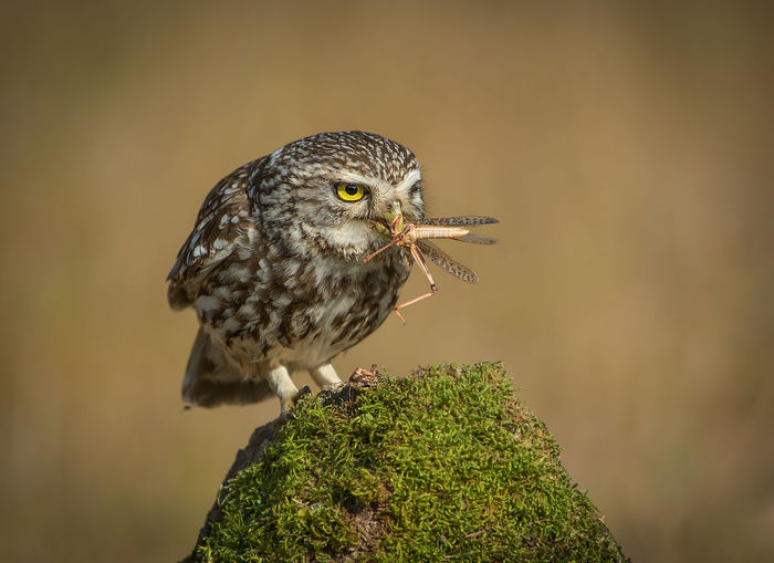 Athene Noctua Owl Little Owl Animal Bird Animal Themes One Animal Vertebrate Animal Wildlife Animals In The Wild Perching Close-up Focus On Foreground No People Day Nature Looking Outdoors Looking Away Plant Zoology Young Animal Tree Blackbird