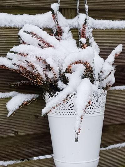 Snow ❄ Garden Snowy Winter Wintertime Snow Snowy Garden Pot Potted Plant Ljung Snowy Branches Christmas Snow Covered