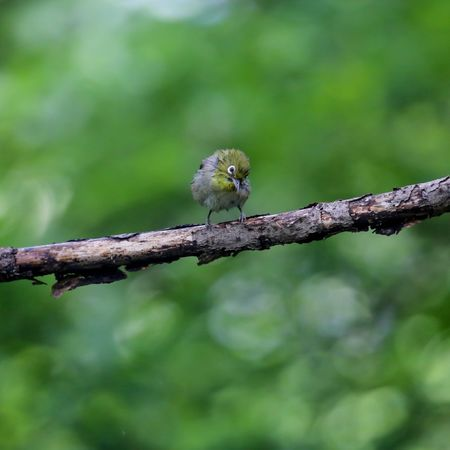 Animals In The Wild Animal Themes One Animal Animal Wildlife Tree Branch Perching Focus On Foreground Nature Bird Day Outdoors No People Beauty In Nature Close-up メジロ 野生動物 野鳥 日本