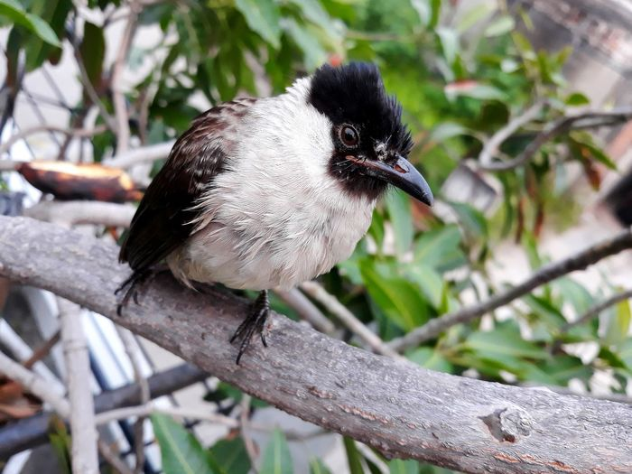 Bird Sooty-headed Bulbul Pycnonotus Aurigaster Pycnonotidae Smallbird Bird Perched Bird Chirping Close-up