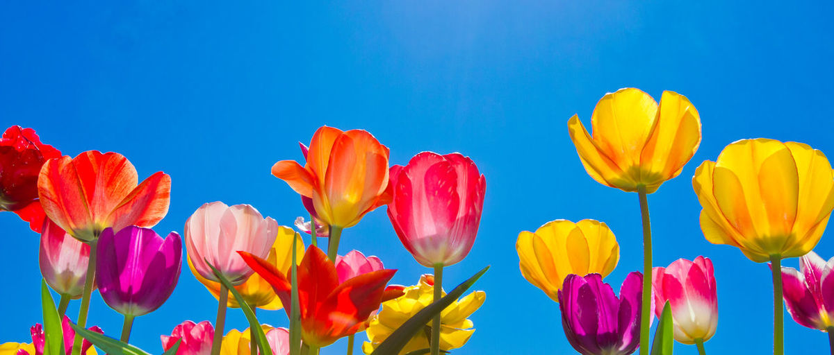 Colorful tulips in spring Flower Petal Plant Flower Head Tulip Nature Growth Sky Blue Flowering Plant Springtime Easter Cheerful Colors Colorful Happy Garden Florist Blossom Season  Spring Agriculture Cultivation Amsterdam Netherlands