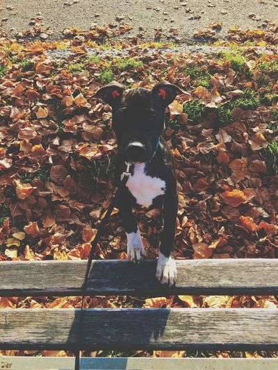 Americanpitbullterrier Dog Representation Mammal Art And Craft No People Domestic Animals Day Creativity Pets Nature Sunlight Outdoors One Animal