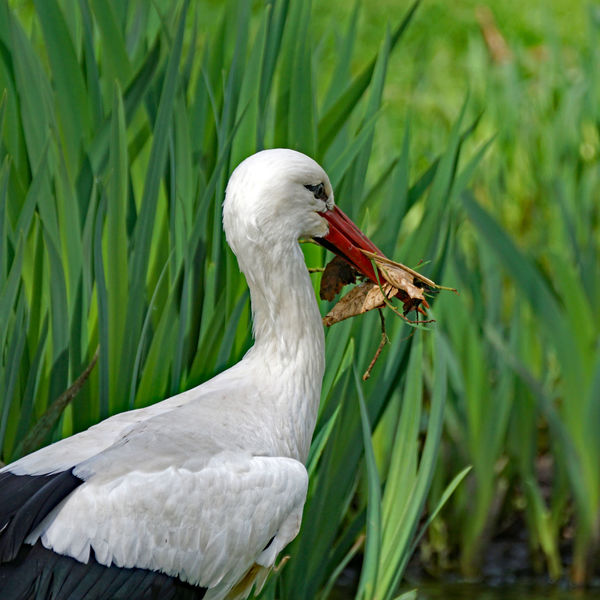 Vögel/Birds Animal Animal Neck Animal Themes Animal Wildlife Animals In The Wild Beak Bird Close-up Day Focus On Foreground Grass Green Color Nature No People One Animal Outdoors Plant Profile View Side View Stork Vertebrate Water White Color