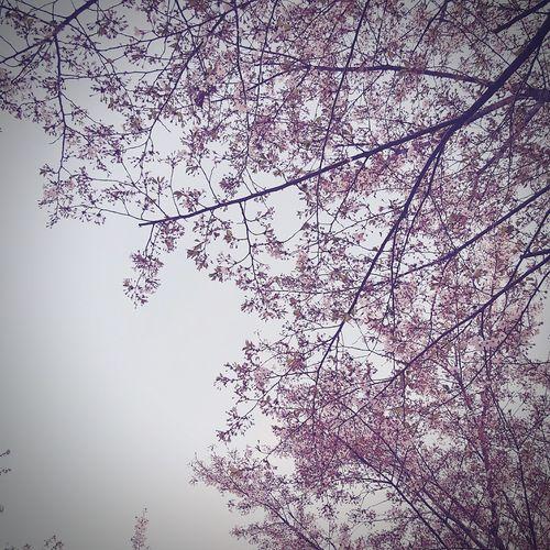Anyangcheon Blossom Blossom 😍😌😊