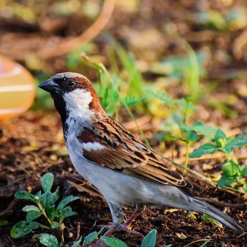 Close-up of sparrow perching on field