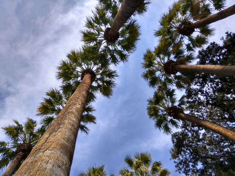 Tree Low Angle View Palm Trees Palm Tree Beauty In Nature Growth Sky Cloud - Sky No People Outdoors Tranquility Branch Day Palm Tree Palm Palms EyeEm Nature Lover EyeEm Best Shots Low Angle Of View Nature Photography Smartphone Photography Nature_collection Beauty In Nature Nature Botanic Garden