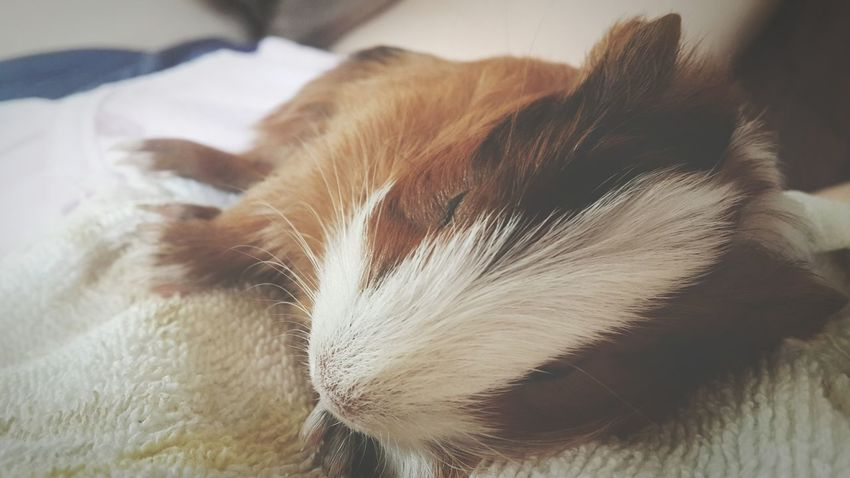 Pets Corner Pets Cute Sleeping Adorableness Guinea Pig Cavia Photo