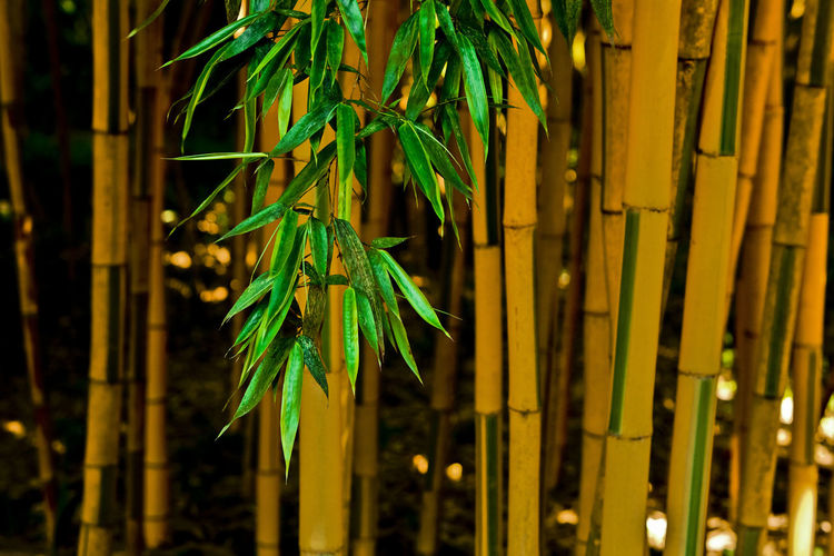 Close-up of bamboo plant