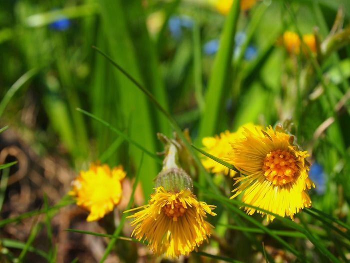 Springtime is finally here and now it's growing fast! Beauty In Nature Close-up Coltsfoot Day Down To Earth Flower Flower Head Fragility Freshness Groundperspective Growth Insect Low Angle View Nature No People Outdoors Petal Plant Selective Focus Springtime Tussilago Yellow Yellow Flower