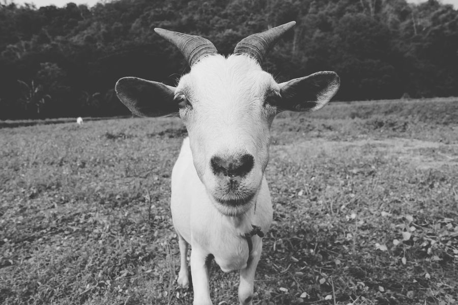 Service Animals Goat Farmanimals Goatcheese Blackandwhite White Black And White