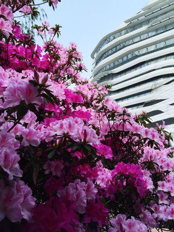 Spring at PolyU. Hong Kong Polyu Spring Blossom Pink Tree Flower Architecture Zaha Hadid Innovation Tower