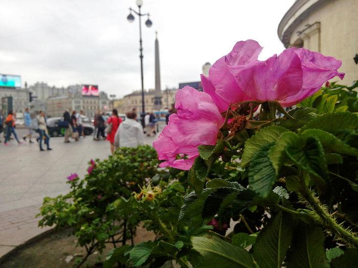 Flower Plant Pink Color Growth Nature Sky City Day Outdoors Close-up On The Square Square St.petersburg Санкт-Петербург Питер Площадь восстания около метро Восстания Самый лучший город