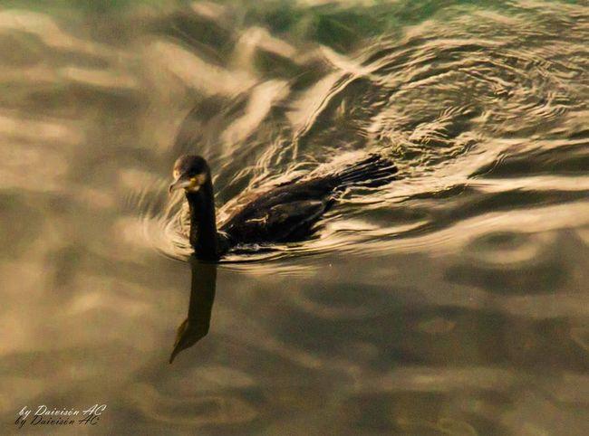 Cormoran.....de paseo EyeEm Birds Reflection Eyeem Fauna EyeEm Nature Lover