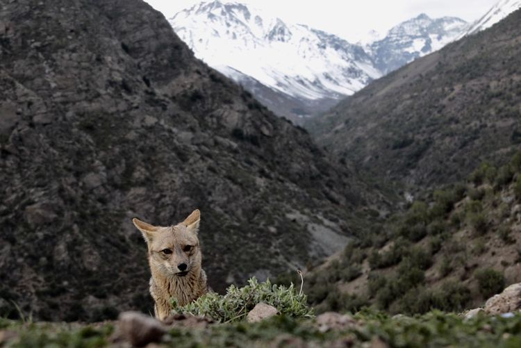 Fox standing on field against mountains