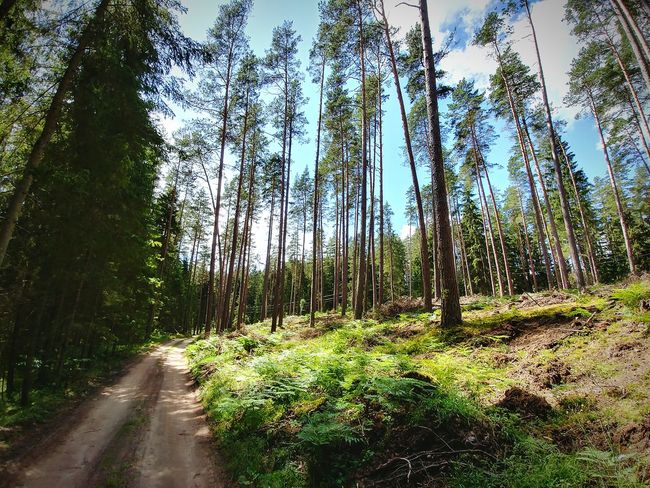 Gravel road in forest Growth Tree Nature Forest Green Color Outdoors Beauty In Nature Road Gravel Gravel Road Path Deep Woods Pines Pine Woodland Pineforest Wideangle Lgg6 Lithuania Lithuania Nature