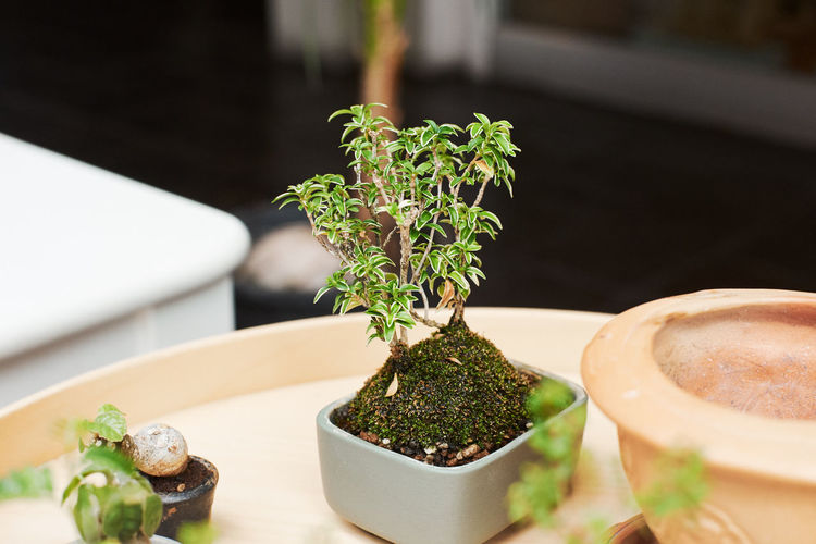 Bonsai Tree Potted Plant Plant Growth Green Color No People Freshness Nature Indoors  Close-up Table Leaf Selective Focus Plant Part Focus On Foreground Succulent Plant Food And Drink Still Life Day Beauty In Nature Herb Flower Pot Houseplant Small