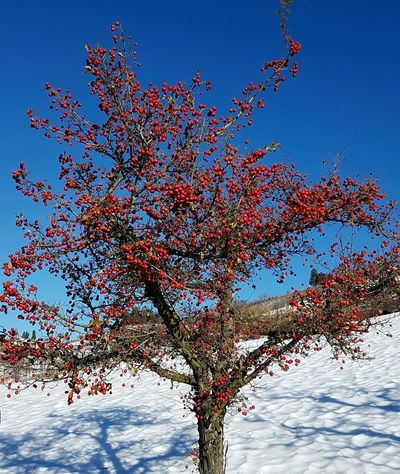Sky Blue Tree Sunlight Outdoors Nature No People Day Berries On Tree Redberries Snow Winter Beauty In Nature Blue Sky Contrasting Colors Airing Freshness Pure Beauty Purenature Limpidity Joy Of Life Abundance EyeEmNewHere Resist