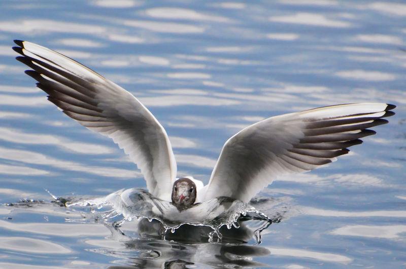 Close-Up Of Black-Headed Gull Landing In Lake