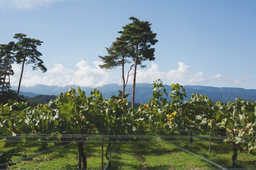 Growth Tree Agriculture Field Nature Landscape Beauty In Nature No People Mountain Sky Tranquility Scenics Day Rural Scene Outdoors Mountain Range Nagano Wine Country Japan