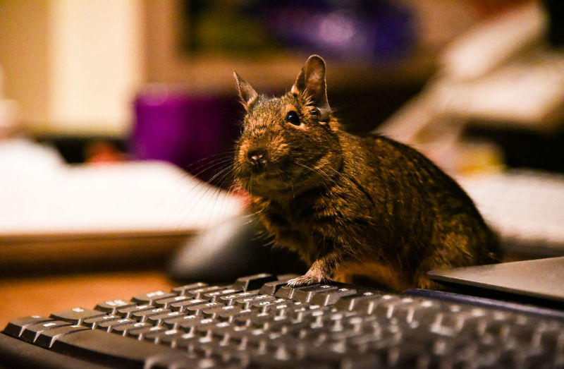 Close-Up Of Degu By Computer Keyboard At Home