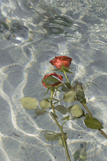 High angle view of red rose floating on lake