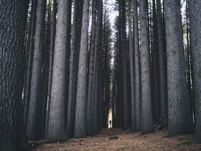 Sugar Pine Forest The Great Outdoors - 2015 EyeEm Awards The Traveler - 2015 EyeEm Awards EyeEm Best Shots EyeEm X WhiteWall: Landscapes