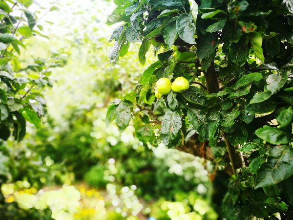 Tip of the appletree Hanging Out Check This Out Taking Photos HuaweiP9 From My Point Of View TheWeekOnEyeEM Food Apple Apples Apple Tree Fruit Green Greentree Nature Photography Applephotography