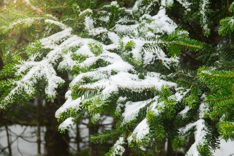 Pine branch in snow. Winter sunset in the forest Snow Plant Winter Cold Temperature Tree Beauty In Nature Growth Nature White Color Day Covering No People Frozen Green Color Tranquility Outdoors Close-up Fir Tree Land Coniferous Tree Pine Tree Evergreen Tree