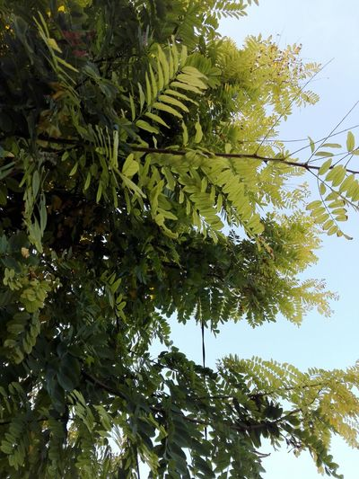 Tree Low Angle View Nature Branch No People Beauty In Nature Sky Outdoors Huaweiphotography Eyeem Market Ionita Veronica Veronica Ionita Wolfzuachiv WOLFZUACHiV Photos On Market Huawei Photography WOLFZUACHiV Photography Acacia Branches Acacia Leaves Acacia Tree Acacia Acacia Leaf Leaf Tree Area Tree