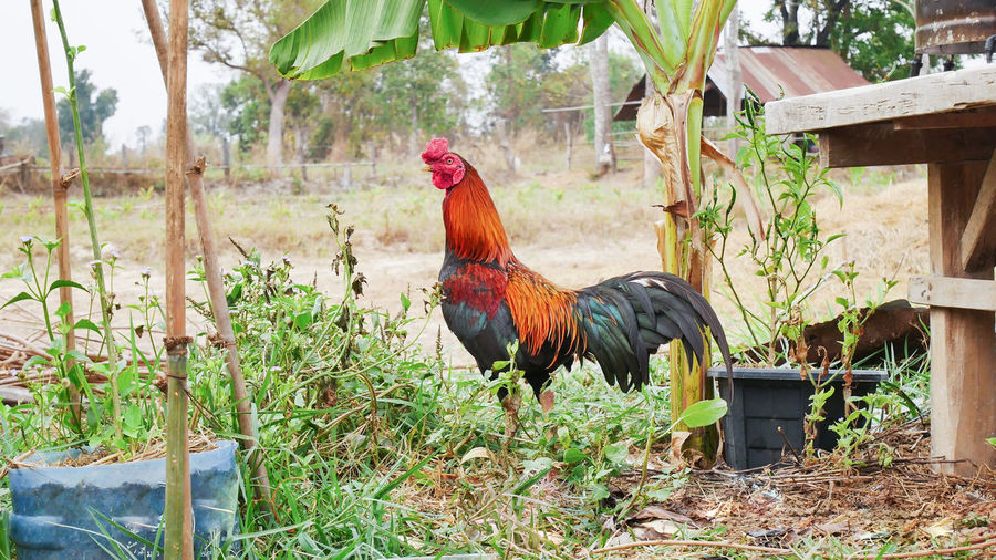 Rooster Perching By Plants In Farm