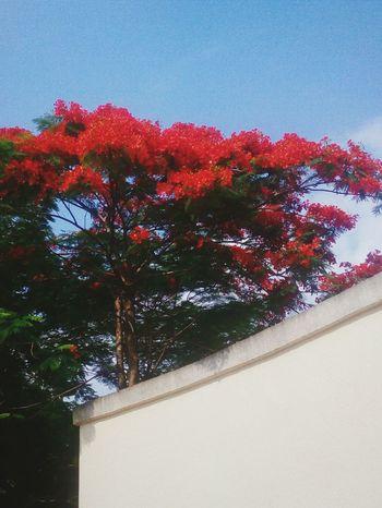 凤凰树,花艳如火。 Open Your Eyes Flowers, Nature And Beauty Beautiful Nature Tree Summer Views This Week On Eyeem