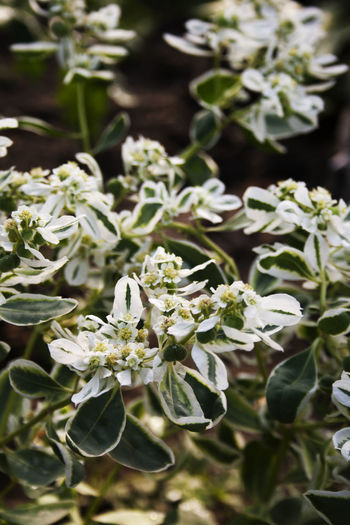 Euphorbia marginata commonly known as snow-on-the-mountain, smoke-on-the-prairie, variegated spurge, or whitemargined spurge Smoke-on-the-prairie Abundance Backgrounds Beauty In Nature Blossom Close-up Day Euphorbia Marginata Flower Flower Head Focus On Foreground Fragility Freshness Full Frame Growth In Bloom Nature Petal Plant Selective Focus Snow-on-the-mountain Springtime Variegated Spurge White Color Whitemargined Spurge