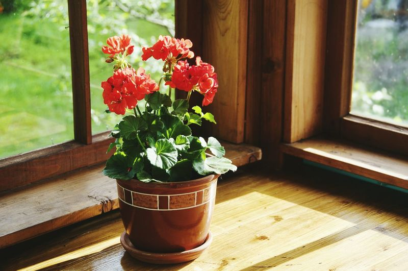 Flower Window Potted Plant Wood - Material Day Summer Plant Indoors  No People Nature Rural Scene Fragility Beauty Beauty In Nature Flower Head Close-up Cantryside Vase Home Showcase Interior Cantry Home Interior Freshness Red Flower Greenhouse Indoors