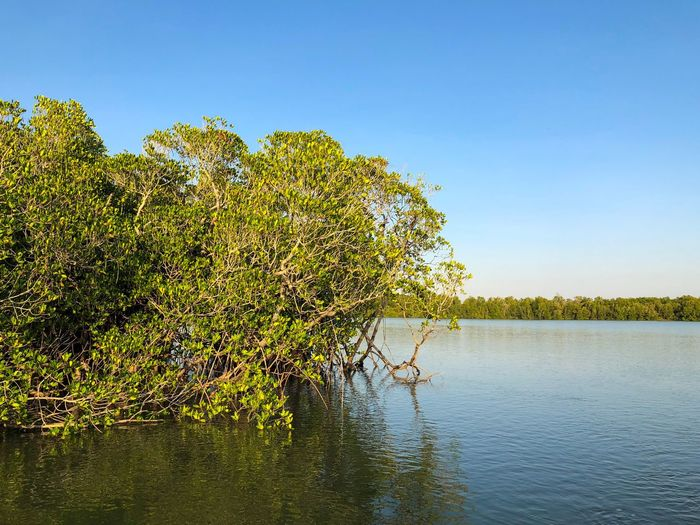 Mangrove in Darwin Harbour, Northern Territory, Australia. Fragile Ecosystem Mangrove Halophytes Rhizophora Rhizophoraceae Water Plant Sky Tree Beauty In Nature Nature Clear Sky Tranquility Copy Space No People Scenics - Nature Outdoors Sunlight Green Color My Best Travel Photo
