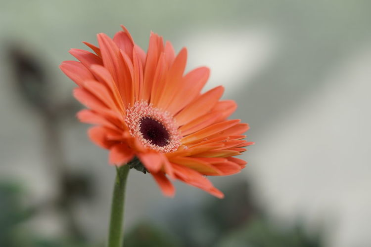 Close-up of orange flower against blurred background