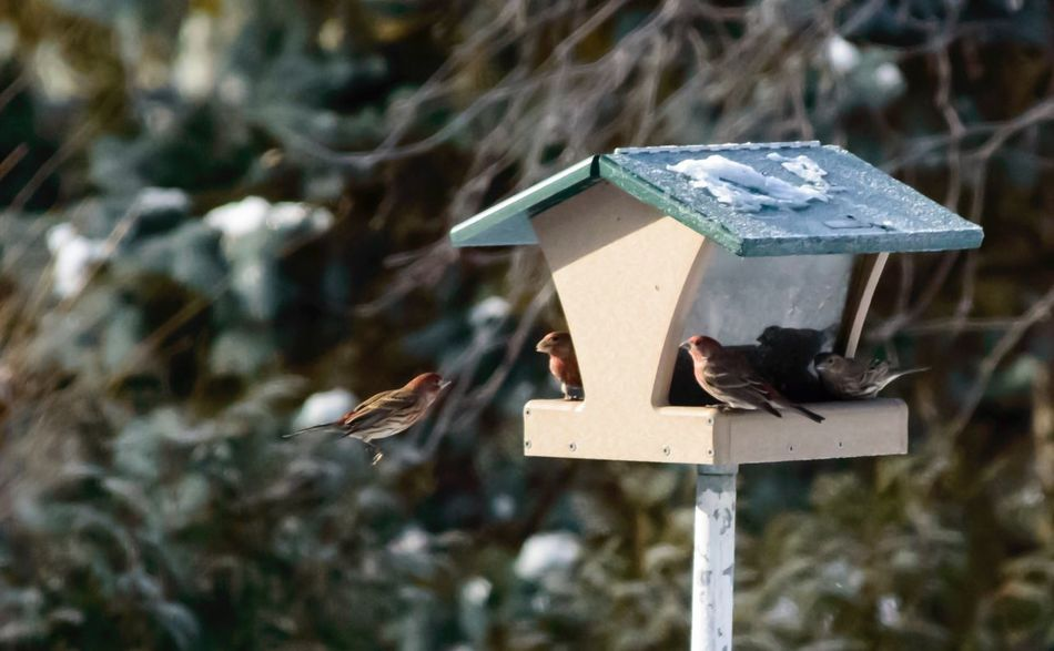 House Finch in flight to the bird house Animal Themes Bird Animals In The Wild One Animal Focus On Foreground Birdhouse No People Animal Wildlife Outdoors Day Close-up House Finch Avian Avian Collection Carpodacus Mexicanus