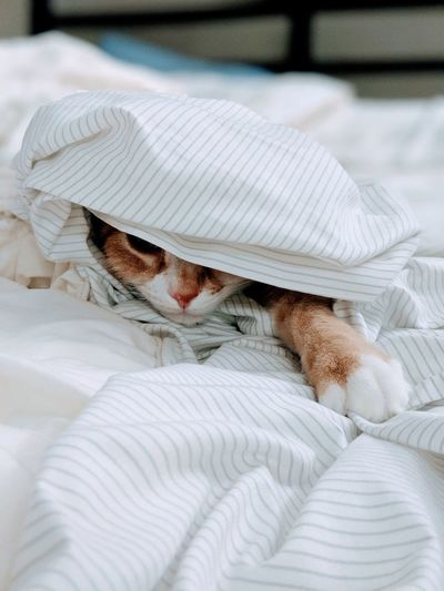 Cat relaxing in duvet on bed