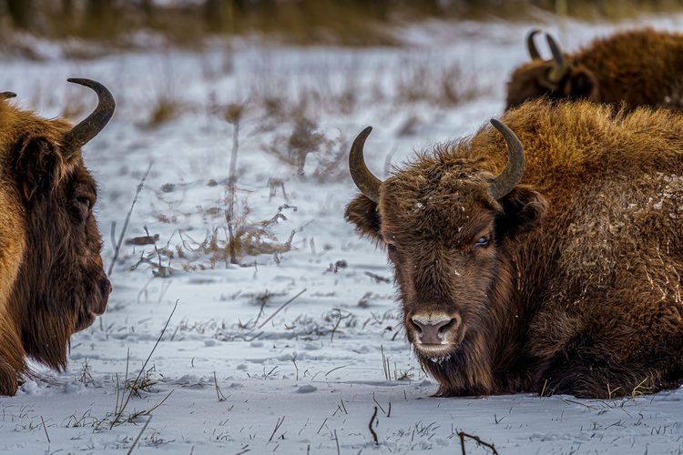 View of an animal on snow covered land