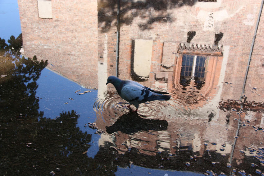 Riflessi ... Abbiategrasso - Italy Animal Photography Castello Visconteo Castle City Cute Day Historical Building Historical Monuments Nature No People Outdoors Pidgeonlife Pidgeons Pigeon Walking In The Water Reflections In The Water Water Reflections Showcase July Eyem Gallery EyeEm Gallery Animal Themes Eyem Nature Lovers  Color Of Life Pet Portraits