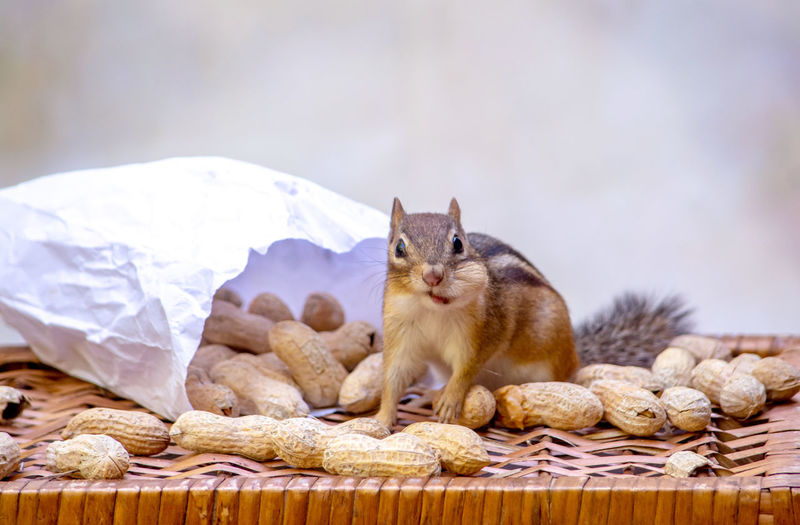 View of squirrel eating food
