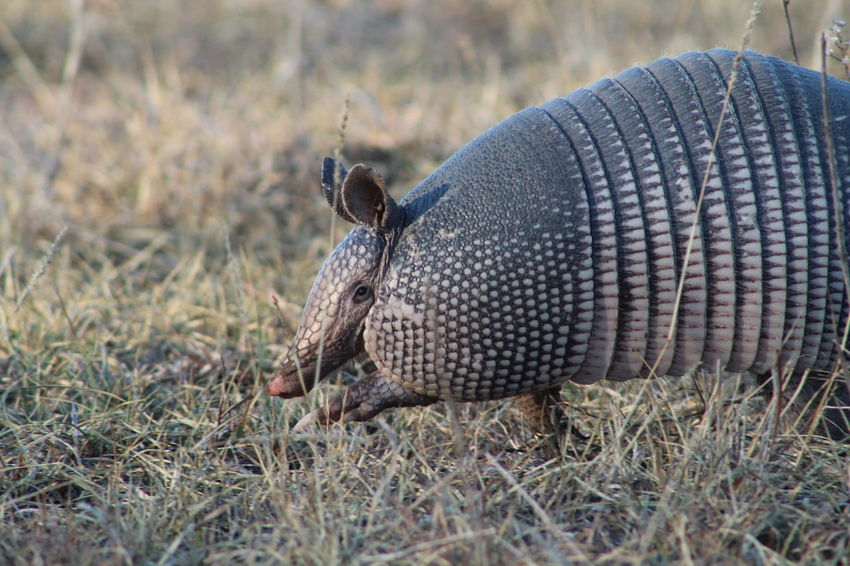 Armadillo EyeEm Selects One Animal Animal Wildlife Animals In The Wild Grass Animal Themes No People Nature Day Close-up Outdoors