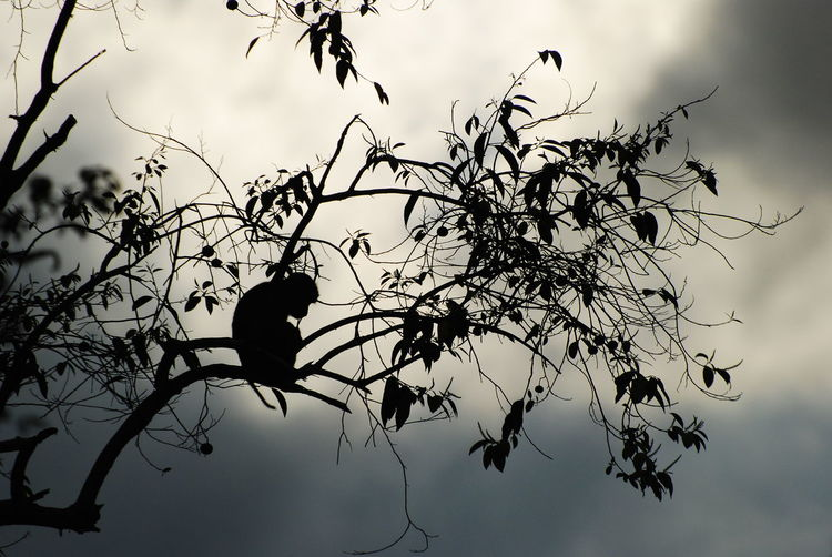 Animal Themes Animal Wildlife Animals In The Wild Beauty In Nature Bird Branch Crow Day Low Angle View Mokey Monkeysilhouette Nature No People One Animal Outdoors Perching Raven - Bird Silhouette Sky Tree