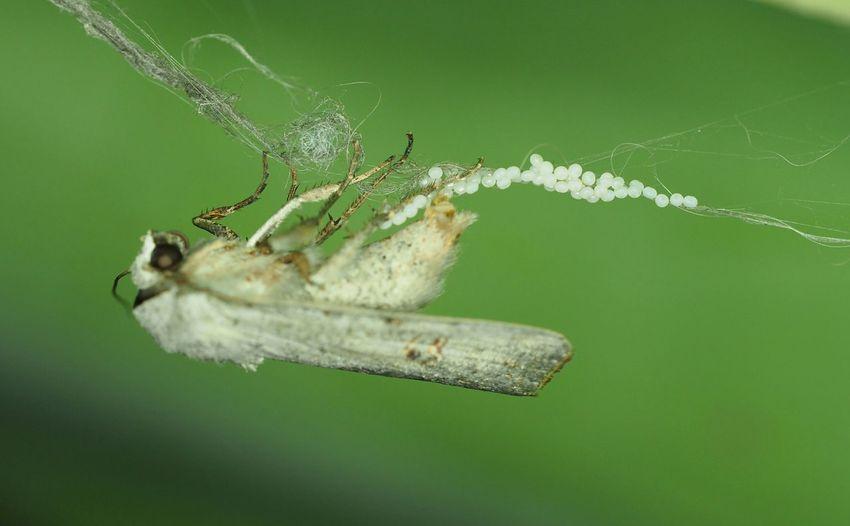 Moth disposing eggs