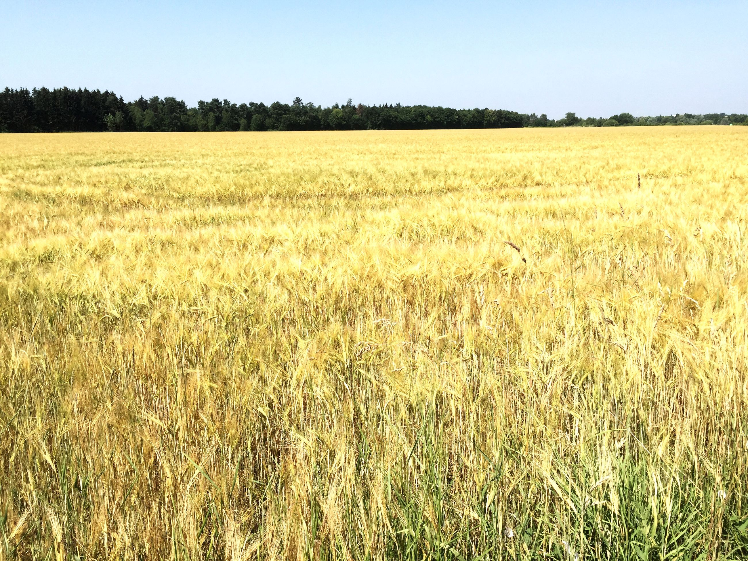 field, agriculture, rural scene, landscape, tranquility, crop, tranquil scene, farm, growth, clear sky, beauty in nature, nature, scenics, cereal plant, grass, cultivated land, wheat, plant, copy space, farmland
