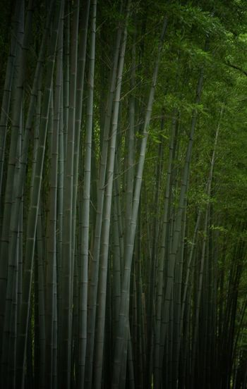 Bamboo Green EyeEm Nature Lover Green Kyoto Japan Photography Japan Tranquility Green Color Plant Growth No People Land Beauty In Nature Forest Tree Bamboo Grove Tranquility Bamboo - Plant Bamboo Abundance