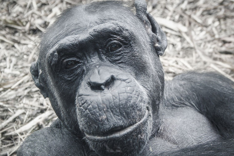 Close-up portrait of chimpanzee in forest