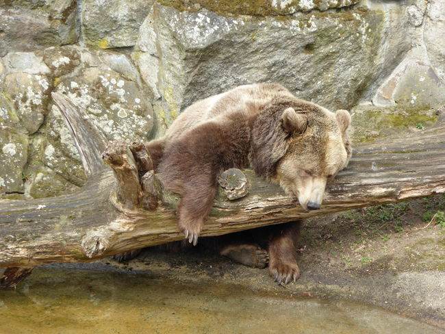 Animal Themes Animal Wildlife Animals In The Wild Bear Bears Life  Berlin Zoo Brown Bear Dozing European Brown Bear Fur Mammal Nature One Animal Outdoors Sleepy Bear Tired Tired Face Zoo Animals  Zoology