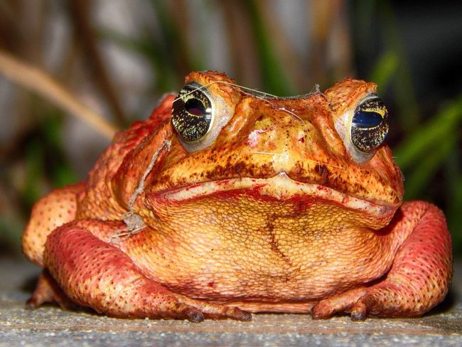 Animal Scale Animal Themes Animals In The Wild Batracien Close-up Nature Nightphotography No People One Animal Outdoors Red Toad Toad